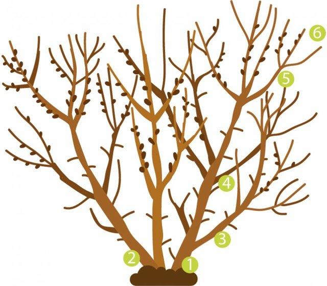 О облепихе: как цветет, когда зацветает в средней полосе, особенности