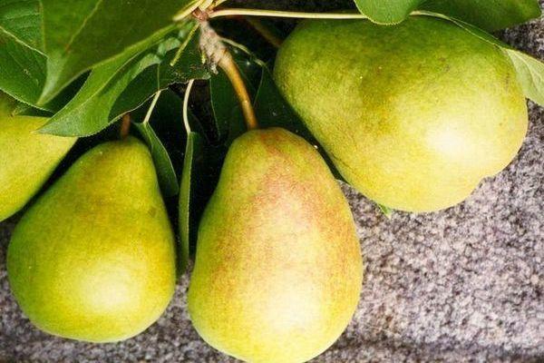 О груше сказочная (сказка): описание сорта, опылители, агротехника выращивания