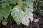 О китайском огурце: описание и характеристики сортов, посадка, выращивание