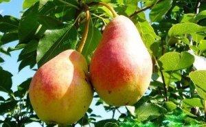 О груше краснобокая: описание сорта, агротехника выращивания, особенности ухода