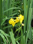 О размножении ирисов семенами (когда можно и как правильно делить ирисы)