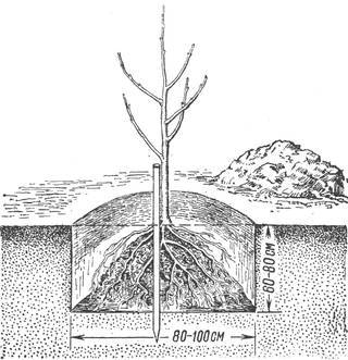 О груше велеса: описание и характеристики сорта, посадка, уход, выращивание