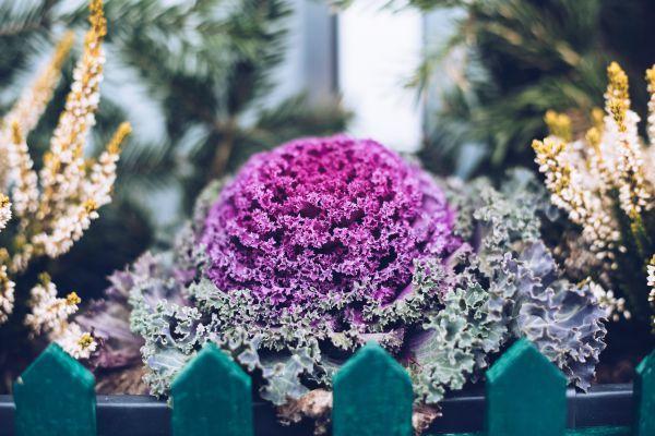 О рассаде капусты: как правильно посеять семена на рассаду, особенности