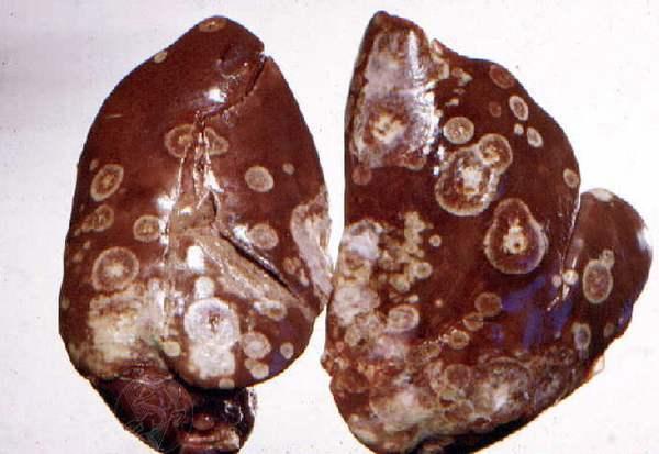 О симптомах и лечении гистомоноза у индюшат: признаки болезни индюков