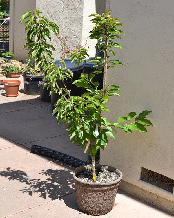 О выращивании черешни из косточки, как посадить черешню в домашних условиях