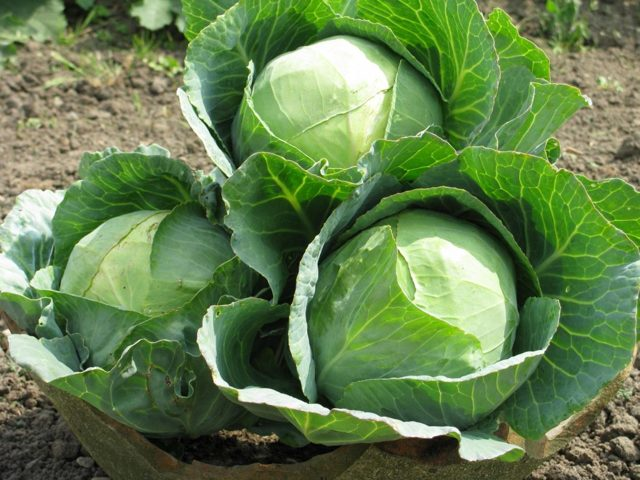 О поздних сортах капусты: лучшие сорта для длительного хранения, преимущества