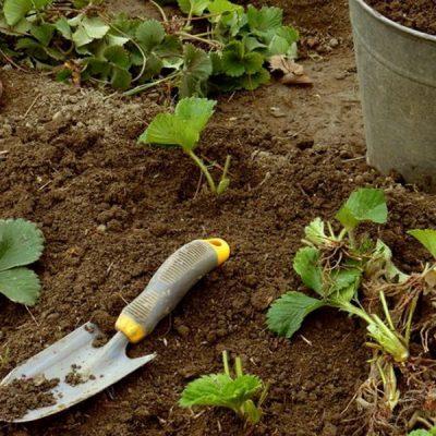 О вегетативном размножении земляники садовой усами и без усов, агротехника