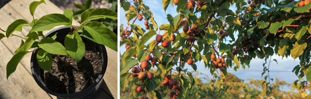 Китайская актинидия: описание и характеристики, уход и выращивание
