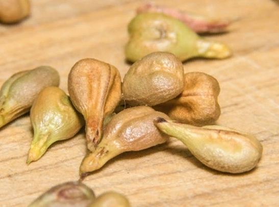 О винограде мерло: описание и характеристики сорта, посадка и уход