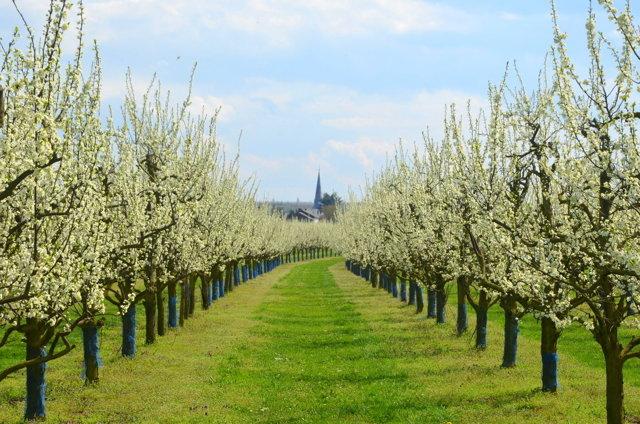 О сливе медовая желтая (белая, ранняя): описание сорта, агротехника выращивания