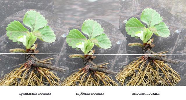 О клубнике зефир: описание сорта, агротехника посадки и выращивания
