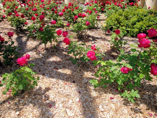 О поливе роз: как часто надо поливать розы в жаркую и холодную погоду в саду