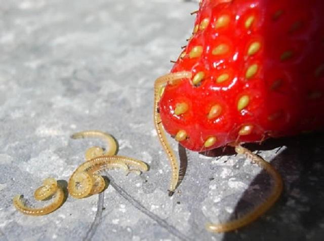 О нематоде на клубнике: на ягодах клубники тонкие белые червячки, как лечить