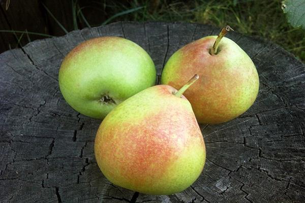 О груше мраморная: описание сорта, характеристики, агротехника выращивания