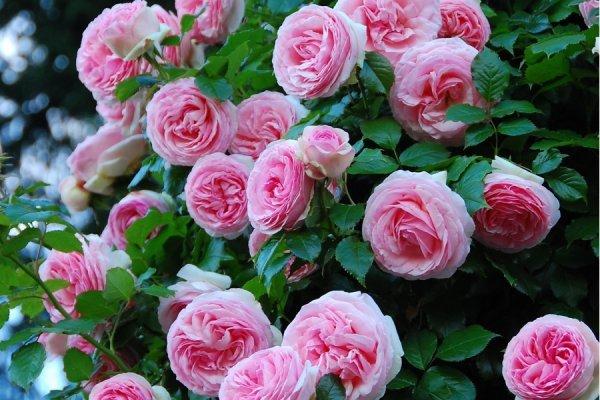 О розе kimono: описание и характеристики, выращивание сорта розы флорибунда