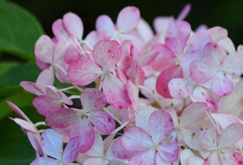 О розе ванилла: описание и характеристики сортов фрайз, айс, mancera