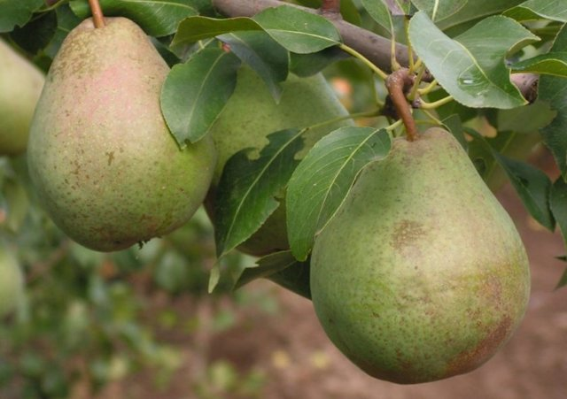 О груше белорусская поздняя: описание сорта, агротехника выращивания
