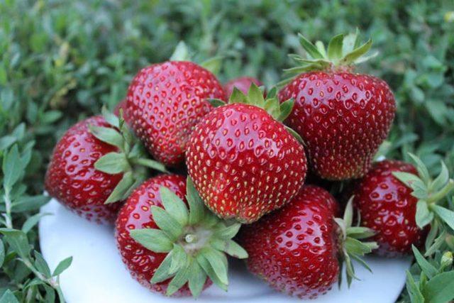 О клубнике мальвина: описание сорта, агротехника посадки и выращивания