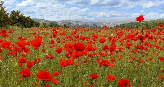 О полевых цветах желтого и розового цвета: описание и характеристики, уход