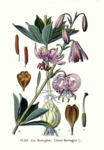 О лилии мартагон: описание и характеристики сортов, посадка и уход