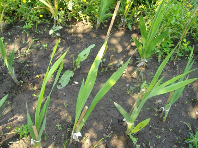 О подкормке гладиолусов для быстрого и обильного цветения в период бутонизации