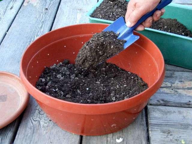 О выращивании можжевельника в домашних условиях из семян: посадка и уход