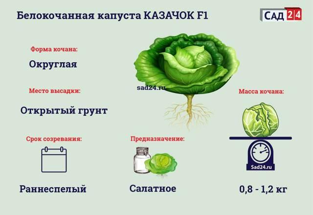 О капусте казачок: описание и характеристика сорта, как посадить рассаду
