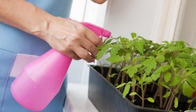 Кто подъедает рассаду помидоров, трипсы на рассаде томатов, как бороться