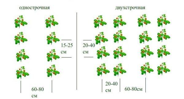 О землянике зенга зенгана: описание и характеристики сорта, посадка, уход