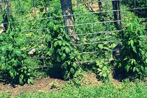 Как ухаживать за ежевикой весной: советы бывалых садоводов