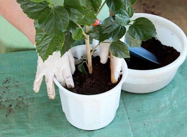 О гибискусе болотном: описание сорта, как посадить и ухаживать за растением