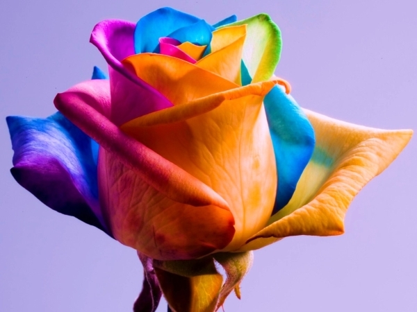 О радужной розе: как сделать розу с разноцветными лепестками, роза в колбе