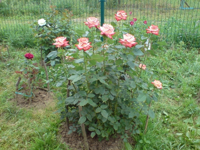 О розе императрица фарах (imperatrice farah): описание сорта чайно гибридных роз
