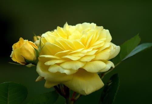 О розе anny duperey: описание и характеристики, уход и выращивание