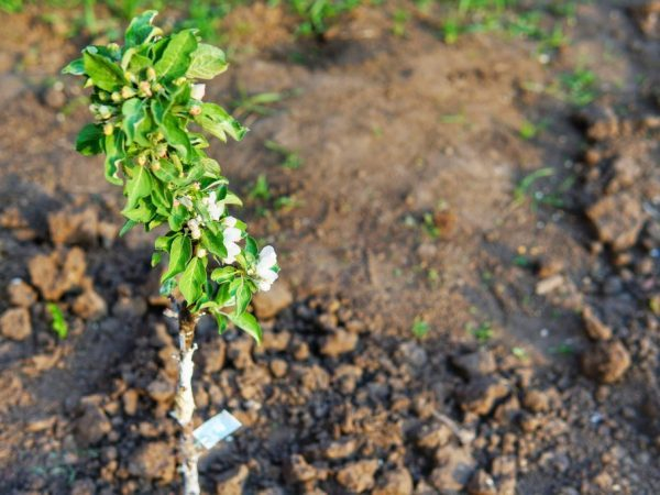 О колоновидной яблоне для сибири: описание и характеристика зимостойких сортов