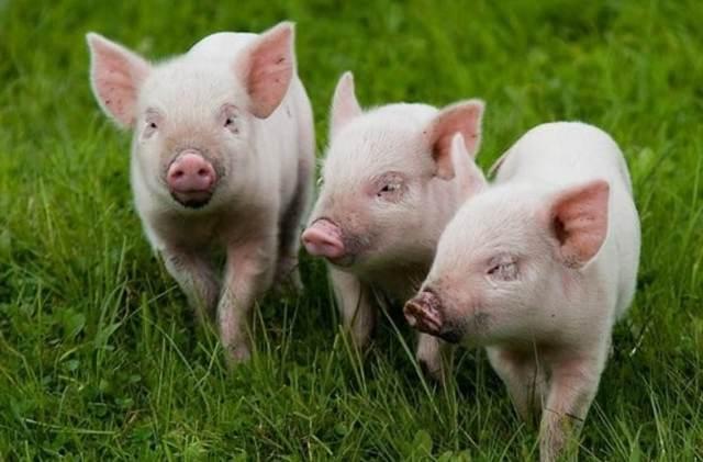О выращивании и откорме свиней: комбикорм, премиксы, стимуляторы роста