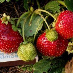О клубнике виктория: описание и характеристики сорта, посадка, уход, выращивание