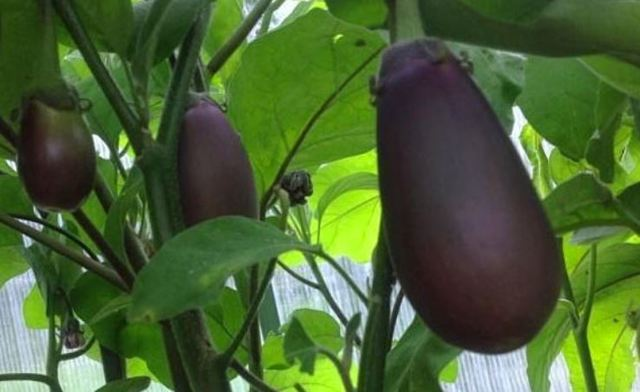 О баклажане черный красавец: описание и характеристики сорта, посадка, уход