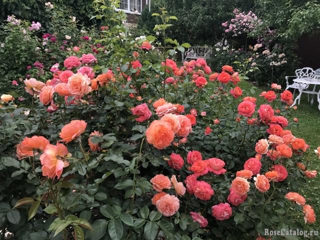 О посадке и уходе за розой бельведер (belvedere), агротехника выращивания