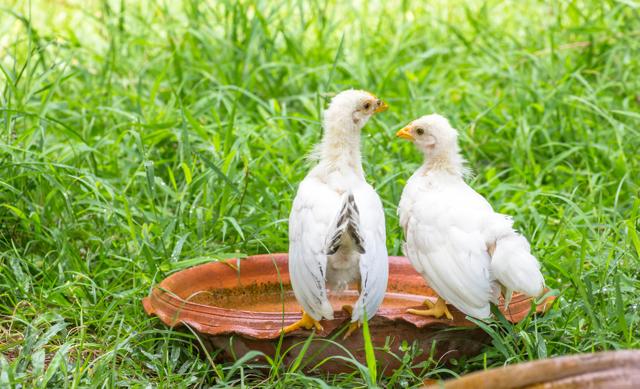 О препарате ампролиум: подробная инструкция по применению для цыплят бройлеров