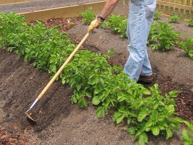 Невский: описание семенного сорта картофеля, характеристики, агротехника