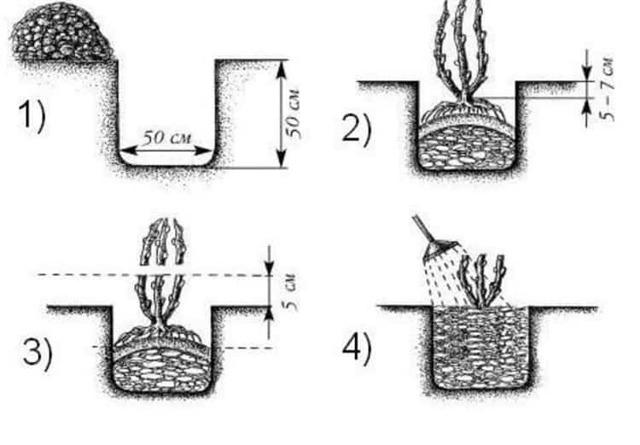Куст крыжовника: описание и характеристики, посадка, уход, выращивание