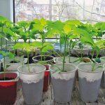 О высадке рассады лука в открытом грунте: когда сажать, выращивание в сибири