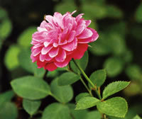 О розе meilland: описание и характеристики сорта чайно гибридной плетистой розы