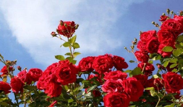 О пересадке розы летом на другое место: можно ли пересаживать во время цветения