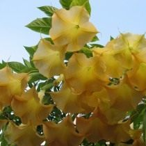 О датуре: описание растения, выращивание из семян, как ухаживать за цветком