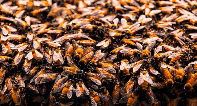 О пчелиной матке: как выглядит королева пчел, сколько живет, вывод маток