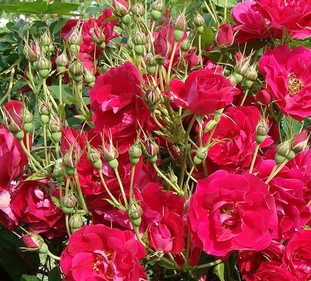 О розе adelaide hoodless: описание и характеристики, выращивание канадской розы