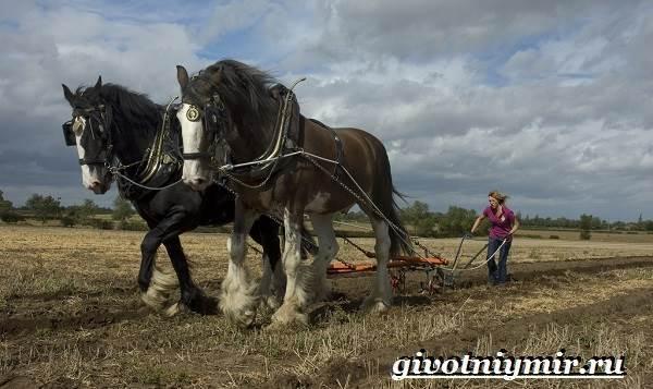 О лошади шайр: английская порода тяжелоупряжных лошадей, описание, характеристики