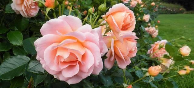 О розе laminuette: описание и характеристики, выращивание сорта розы флорибунда